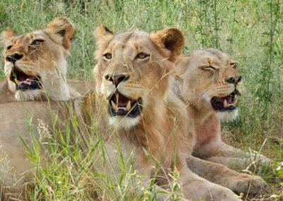 ndzuti-lion-img1-v1
