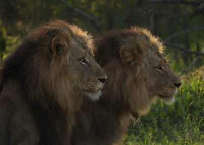 two-male-lions-1024x683-v1