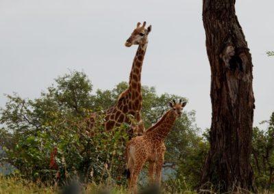 Mother and calf giraffe.