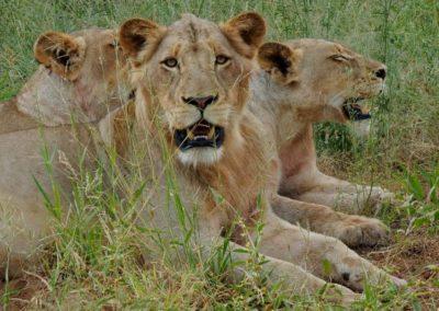 Lion pride Kruger.
