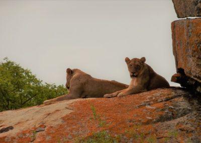 lions on rocks dark sky