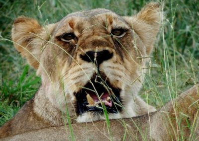Lead lioness Maseke Game Reserve.