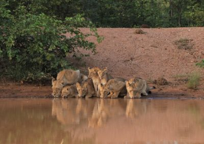 Lioness and cubs quench their thirst