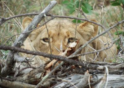 lion-watching-1024x683-v1