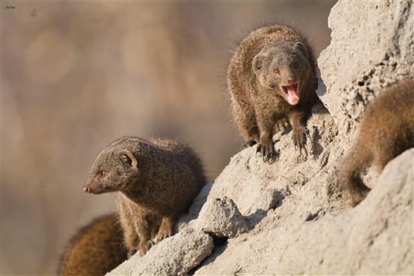 Dwarf Mongoose – Kruger's Smallest Carnivore